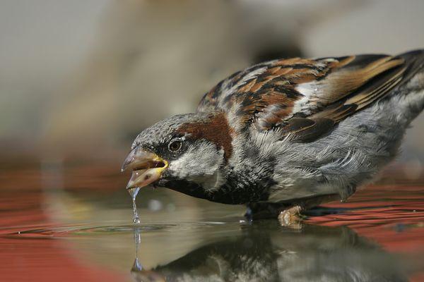sparrow-in-water.jpg