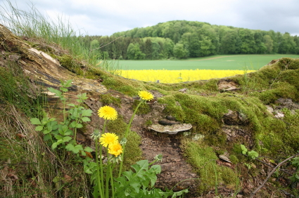 Dandelions strategically positioned to heighten composition